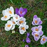 Crocus flowers. Wild purple and white crocus flowers Royalty Free Stock Photography
