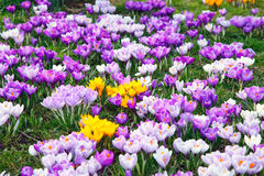 Crocus flowers. Wild yellow, purple and white crocus flowers Royalty Free Stock Images