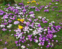 Crocus flowers Royalty Free Stock Image