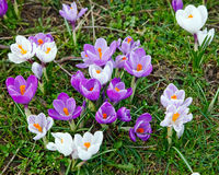 Crocus flowers. Wild purple and white crocus flowers Stock Photos
