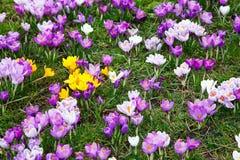 Crocus flowers. Wild yellow, purple and white crocus flowers Royalty Free Stock Photos