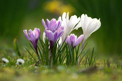 Free Crocus Flowers Stock Photos - 13482903