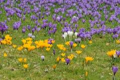 Crocus flowers Royalty Free Stock Photos