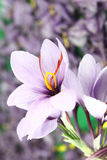 Crocus flowers Royalty Free Stock Image