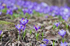 Crocus flowers Stock Photography