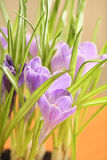 Crocus flowers. Closeup of crocus flowers on bright background Stock Photos