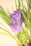 Crocus flowers. Closeup of crocus flowers with water drops Stock Photos