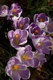 Crocus Flowers. Spring time crocus flowers on dark lawn background stock photos