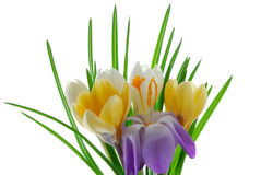 Crocus flowers Royalty Free Stock Photo