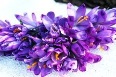Crocus flowers. In snow stock images