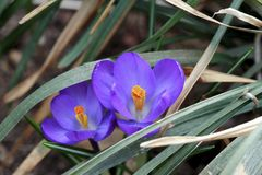 Crocus Flowers. Growing Crocus flowers emerging from under the leaves after a long winter Stock Images