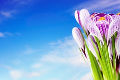 Crocus flowers. Against blue sky background Royalty Free Stock Image