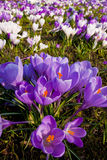 Crocus flowers. Purple crocus flowers in spring Stock Photography