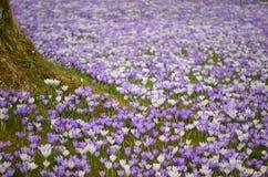 Crocus flowers arround a tree Stock Image