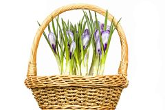 Crocus flowers in basket Royalty Free Stock Photos