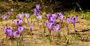 Crocus flowers. Beatiful meadow of blooming violet Crocus flowers Stock Photography