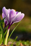 Crocus flowers bloom Royalty Free Stock Photography