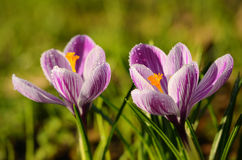 Crocus flowers bloom in the field early spring Stock Photos