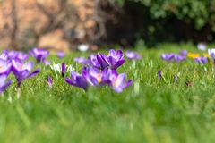 Crocus flowers in bloom, sharp middle ground, blurred foreground, blurred background. Crocus flowers in bloom, spring time in London sharp middle ground, blurred stock image