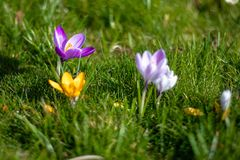 Crocus flowers in bloom, purple, yellow and white, horizontal. Spring time in London. With copy space stock images
