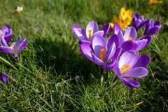 Purple and yellow crocus flowers in bloom at an angle. Spring time in London, Purple and yellow crocus flowers in bloom at an angle, blurred background with copy royalty free stock image