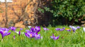 Crocus flowers in bloom with a blurred red brick wall in the background. Spring time in London, Crocus flowers in bloom with a blurred red brick wall in the royalty free stock image