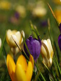 Crocus flowers blooming in holland. Crocus flowers close up in holland Royalty Free Stock Photography