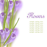 Crocus flowers border. Border of crocus flowers closeup over bokeh with copyspace with sample text Royalty Free Stock Photography