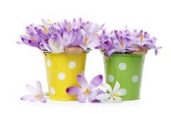 Crocus flowers in  buckets Stock Photo
