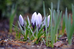 Crocus flowers on a cold spring day Royalty Free Stock Photos