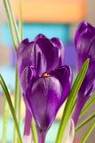 Crocus flowers on a colored background closeup Stock Image