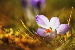 Crocus flowers detail Stock Photos