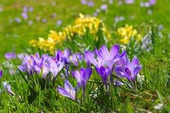 Crocus flowers in Drebach Stock Photo