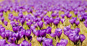 Crocus flowers field Royalty Free Stock Image
