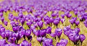 Crocus flowers field Royalty Free Stock Image