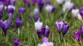 Crocus flowers field stock video