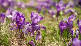 Crocus flowers field stock video