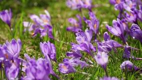 Crocus flowers field stock footage