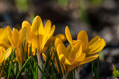 Crocus flowers on the glade Royalty Free Stock Images