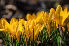Crocus flowers on the glade Stock Photos