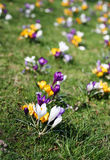 Crocus flowers on grass Stock Photo