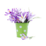 Crocus flowers in green bucket Stock Photography