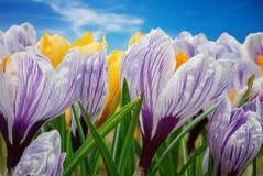 Crocus flowers growing in the spring garden. Stock Photo