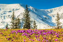 Crocus flowers in the high mountains and spring landscape,Fagaras,Carpathians,Romania Stock Photo
