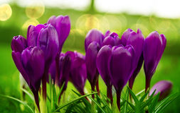 Crocus flowers Royalty Free Stock Photography