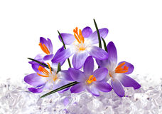 Crocus flowers in ice Stock Photography