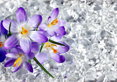 Crocus flowers in ice Royalty Free Stock Photo