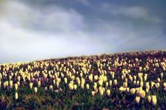 Crocus Flowers Meadow Royalty Free Stock Photo