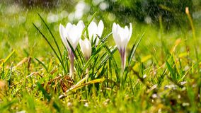 Crocus flowers on meadow in the sunshine in the rain, light drizzle in summer.  stock photos