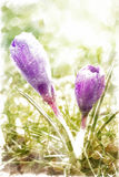 Crocus flowers in the morning dew. Royalty Free Stock Image